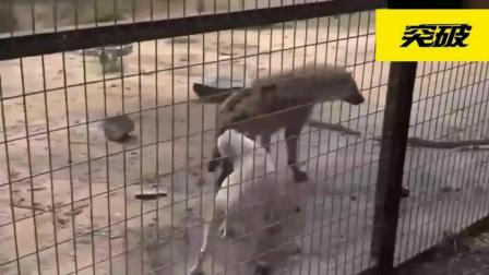把比特犬和鬣狗关在一起, 会不会发生什么事?