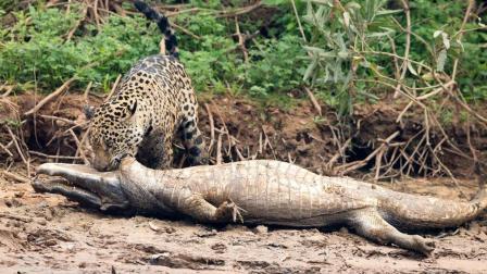 豹子看上了鳄鱼, 刚开始7秒钟战斗就已经结束了!
