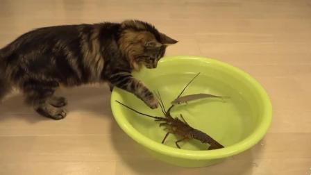 小猫想吃龙虾, 可惜打不过, 就叫来了一群兄弟