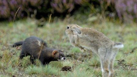 黄鼠狼在兔子面前跳舞, 兔子竟呆立当场, 镜头拍下这诡异画面