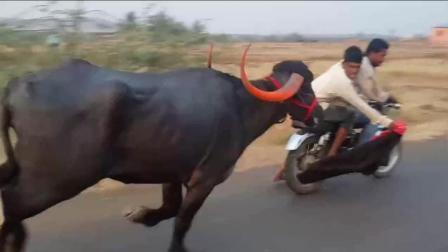 印度三哥骑摩托车挑衅公牛, 真是不作死就不会死