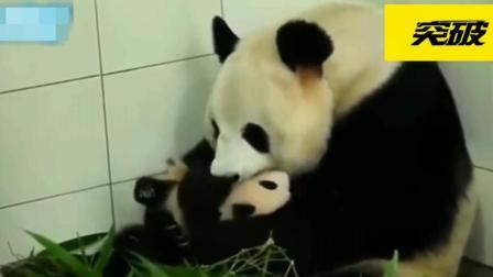 大熊猫哄宝宝和我们人类一样, 还知道轻轻摇晃?