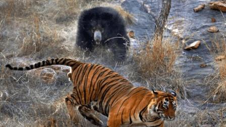 母熊为保护孩子跟老虎搏斗, 结果输出全一声靠吼!