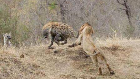母狮被鬣狗群袭击受伤, 归家的雄狮展开疯狂的报复, 鬣狗死伤惨重