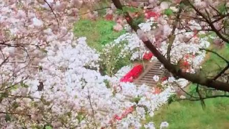 成都街头樱花盛开, 比日本的动漫景色还好看
