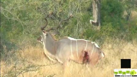 两只鬣狗围攻猎食羚羊, 羚羊疯狂反击, 结果让人很意外
