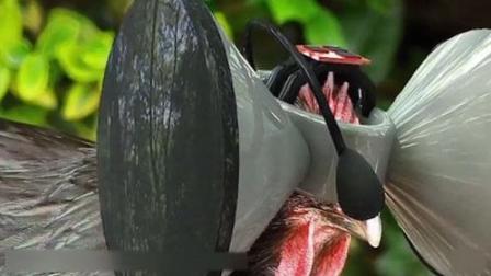 一农场给鸡戴VR眼镜, 一只鸡5万块!