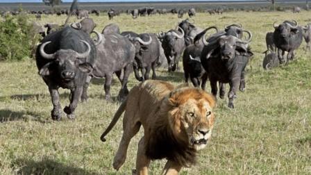 掉进泥坑的水牛有多凶? 把一头狮子撞的落荒而逃!