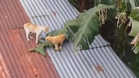 """两只猫咪打架视频遭曝光, 网友评论: """"神仙""""打架"""