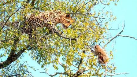 猴子爬树无敌? 笑话! 花豹上树分分钟抓住猴子!