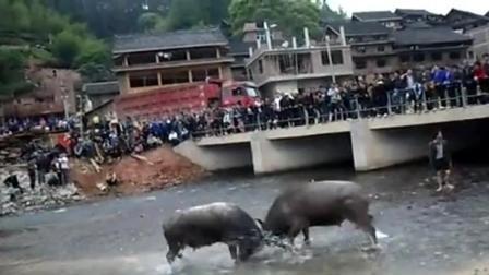 斗牛: 两只公牛在河里战斗, 结果桥上的观众成了亮点