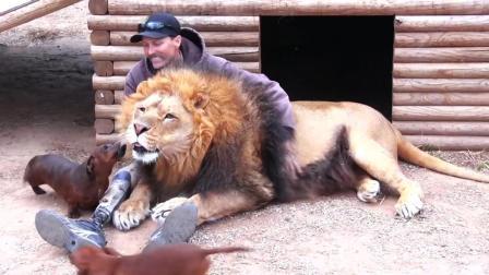 狮子 和狗一起饲养, 巴巴里狮 和 腊肠