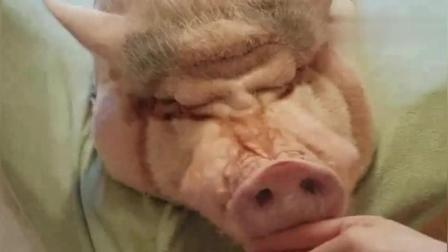 美女在家里养了一只猪当宠物, 每天好吃好喝供着 长见识了
