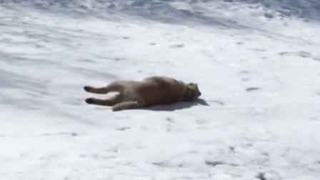 佛系玩雪的狗狗, 让我躺着滑雪吧, 搞笑动物集合