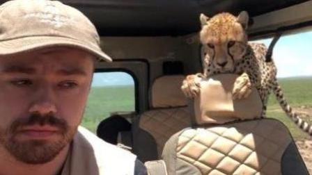 终于有只小猎豹爬进你的车里是一种怎样的体验?