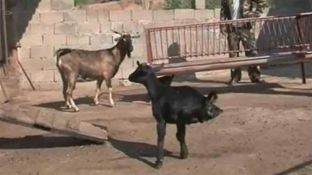 这只羊仅有两条腿, 却行动自如, 网友: 不会是人假扮的吧!