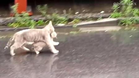 大雨倾盆, 猫妈妈叼起小宝宝搬家