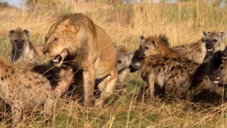 30只鬣狗VS狮群, 结果惨败而逃!