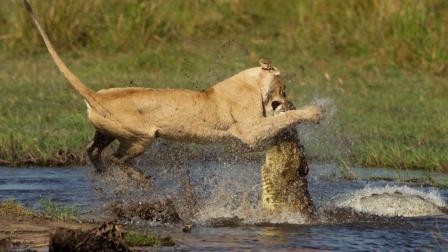 鳄鱼偷袭狮子, 直接将狮子重创! 下巴都被咬掉了!
