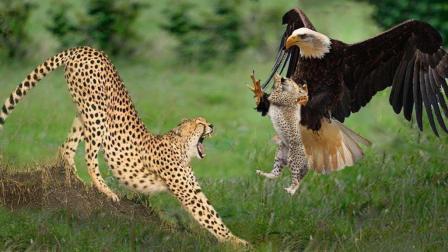 老鹰捕杀猎豹幼崽, 遭猎豹千里追杀复仇!