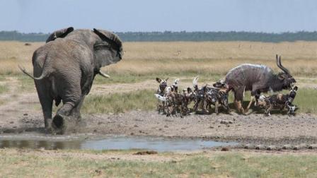 动物界的热心肠! 角羚被鬣狗围攻, 大象意外出手相救!