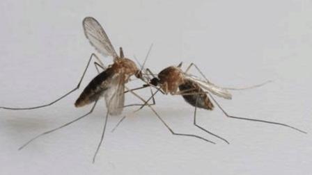 这才是蚊子的大克星, 家里撒点它, 蚊子一只也看不见