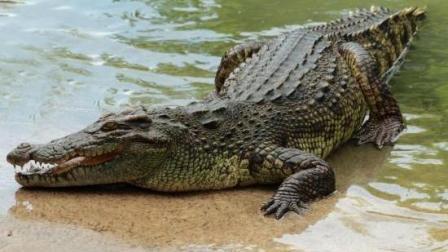 又到了交配的季节, 鳄鱼半夜跑到这儿, 只为找女朋友?
