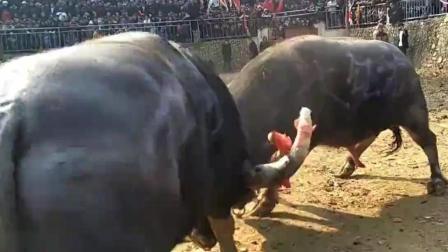 万人看斗牛, 看的心惊胆战, 心都快跳出来了!