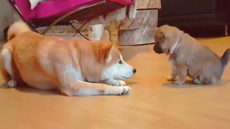 狗狗妈妈教训小狗, 结果小狗赌气不要妈妈了!