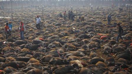 全球最大的杀生祭, 2天50万动物被斩首, 残忍至极!