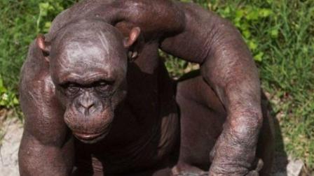 实拍: 英国黑猩猩患怪病, 全身无毛, 看起来和人很像!