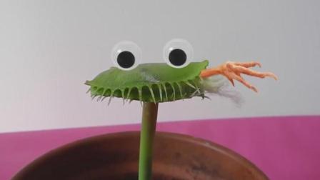 手指放进捕蝇草是一种什么样的体验? 感觉好可爱, 一起来感受下!