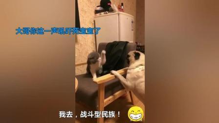 巴哥犬被欺负惨了, 主人把英短蓝猫刚放出来, 结果令人笑翻!