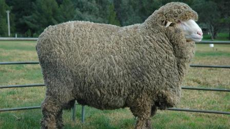为躲避剪毛逃了6年的绵羊, 最终凭借一身羊毛成了网红!