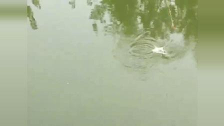 钓鱼: 野河直播钓鱼, 下竿就刺鱼, 看着真是过瘾!