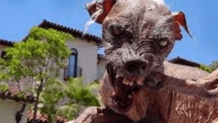 它是世界上最丑的狗, 网友: 绝对被生化武器摧残过!