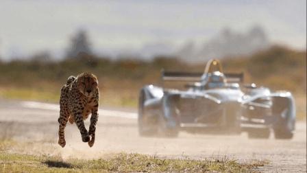 猎豹对比F1赛车谁更快? 速度之间的巅峰对决, 猎豹一起步就完胜赛车