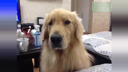 金毛为了一个苹果就丢这狗了, 一边说着, 一边狗口水流着