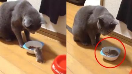 老鼠主动爬进喵碗里, 喵: 这是加加餐么?