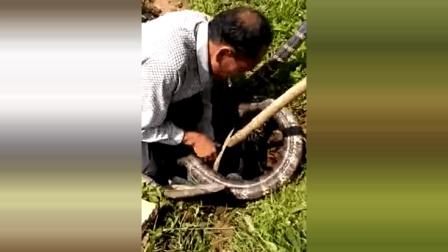 广西大爷按住一条超大眼镜王蛇, 蛇不断挣扎为他捏一把汗