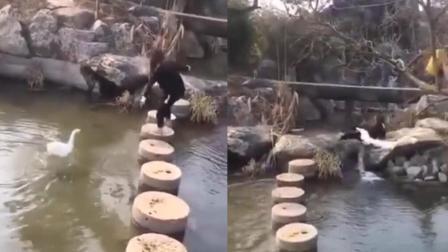 大鹅游向过河女遭驱赶 飞扑将其弄下水