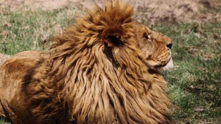 以一敌百! 狮王领袖诞生记