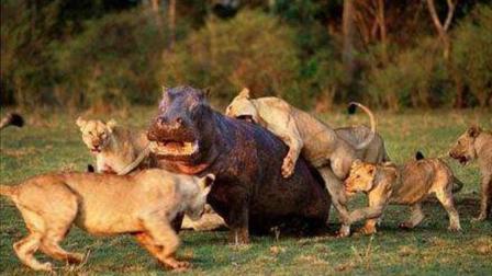 河马被10只狮子围攻, 暴脾气一上来, 一口把狮子头吞进嘴里