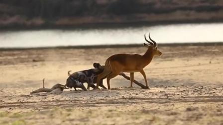 落单的羚羊被野狗盯上, 野狗发动攻击援军却迟迟未到, 这就尴尬了