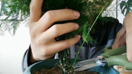 文竹修剪有技巧, 像这样咔咔几下, 小白也能剪出层次感