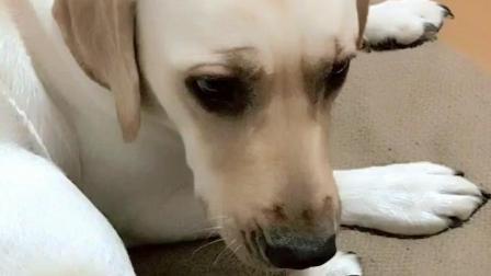 主人拉着狗狗的腿说请它吃狗肉, 狗狗的反应逗得他合不拢嘴