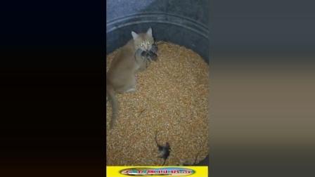 猫捉老鼠有多厉害? 瞬间秒十几只!