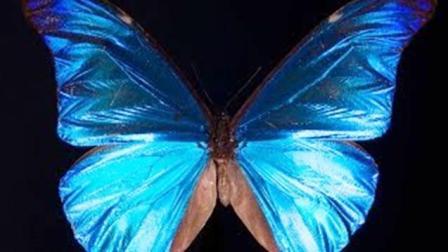 科普一下: 为何地球上蓝色动物这么少? 你眼中蝴蝶的翅膀并非蓝色