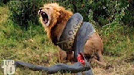 狮子巨蟒老虎之间的决斗, 最精彩的生死战