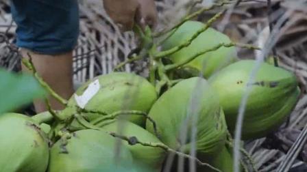 《老广的味道》椰子的采摘